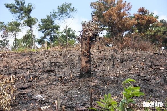 8 ha rừng phòng hộ Quảng Ninh bị chặt trụi trước mặt kiểm lâm - Ảnh 4.