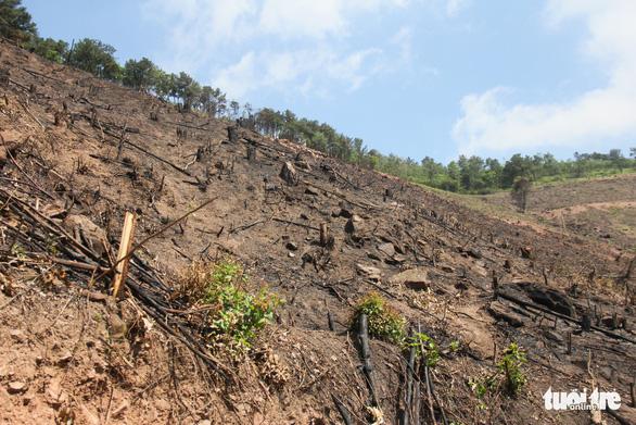 8 ha rừng phòng hộ Quảng Ninh bị chặt trụi trước mặt kiểm lâm - Ảnh 1.