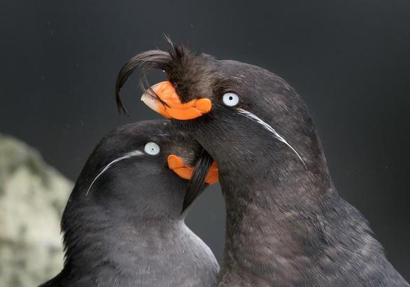Lạ lùng loài chim tỏa mùi hương như vỏ cam, quýt - Ảnh 2.
