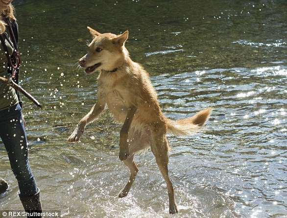 Giải mã ngôn ngữ cử chỉ những chú chó cưng - Ảnh 7.