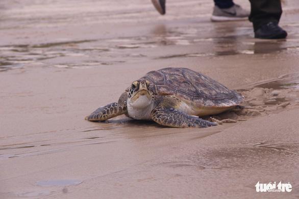 Thả rùa quý hiếm nặng hơn 20kg về biển - Ảnh 2.