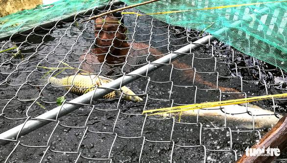Hàng trăm lồng cá chết vì thủy điện không xả, nước sông Bồ không chảy - Ảnh 1.