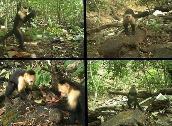 Clip khỉ dùng đá làm công cụ thành thục như người - Ảnh 2.