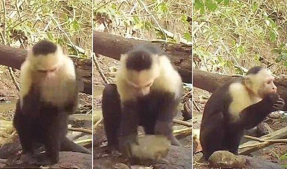 Clip khỉ dùng đá làm công cụ thành thục như người - Ảnh 3.