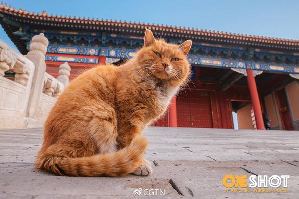 Fan Trung Quốc đau buồn vì tiên tri World Cup mèo hoàng đế qua đời - Ảnh 1.