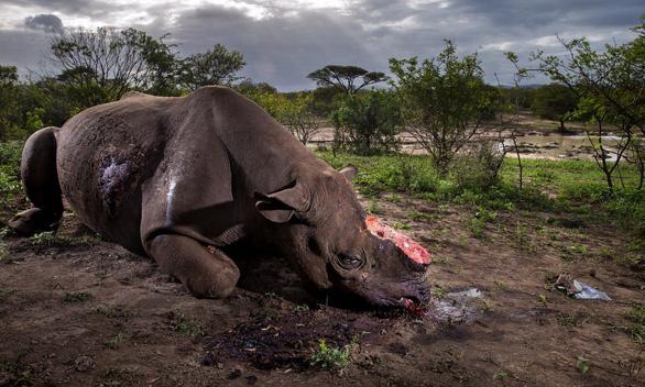 Định cắt sừng tê giác, 3 tên săn trộm bị sư tử ăn thịt - Ảnh 2.