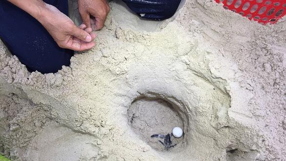 Đưa rùa về lại Cù Lao Chàm: Cái chết của loài rùa - Ảnh 1.