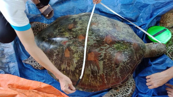 Đưa rùa về lại Cù Lao Chàm: Cái chết của loài rùa - Ảnh 3.