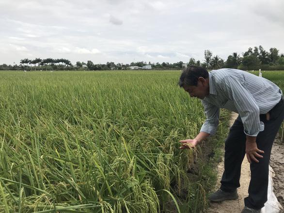 Lúa thơm ST24 được giá 7.000 đồng/kg - Ảnh 1.