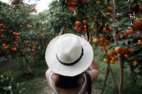 Gần Tết đi thăm làng quýt hồng Lai Vung - Ảnh 9.