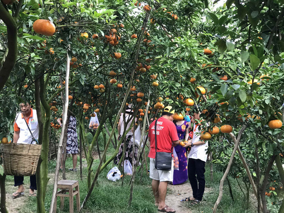 Gần Tết đi thăm làng quýt hồng Lai Vung - Ảnh 10.