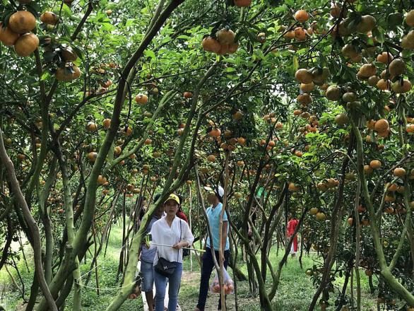 Gần Tết đi thăm làng quýt hồng Lai Vung - Ảnh 12.