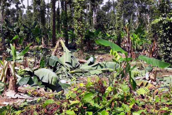 Voi rừng lại ra phá hoại hoa màu ở Đồng Nai - Ảnh 6.