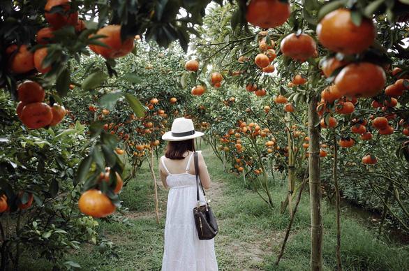 Gần Tết đi thăm làng quýt hồng Lai Vung - Ảnh 2.