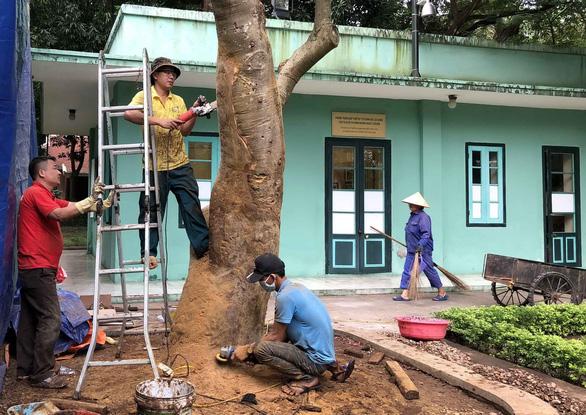 Cứu cây quý hiếm ở nhà Bác Hồ - Ảnh 1.