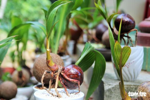 Độc đáo bonsai dừa của chàng trai Bến Tre - Ảnh 5.