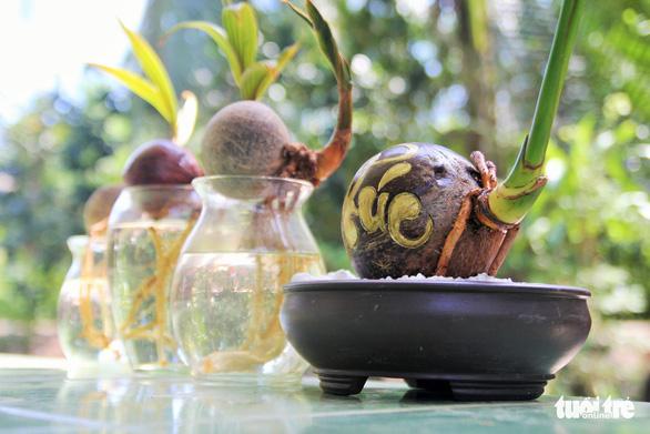 Độc đáo bonsai dừa của chàng trai Bến Tre - Ảnh 6.