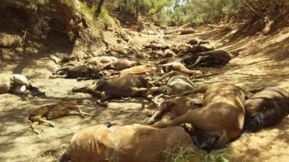 Nắng quá nóng, ngựa hoang ở Úc chết cả bầy như bị thảm sát - Ảnh 1.
