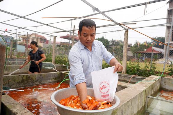 Lãi trăm triệu nhờ nuôi cá chép đỏ phục vụ ông Công, ông Táo - Ảnh 2.