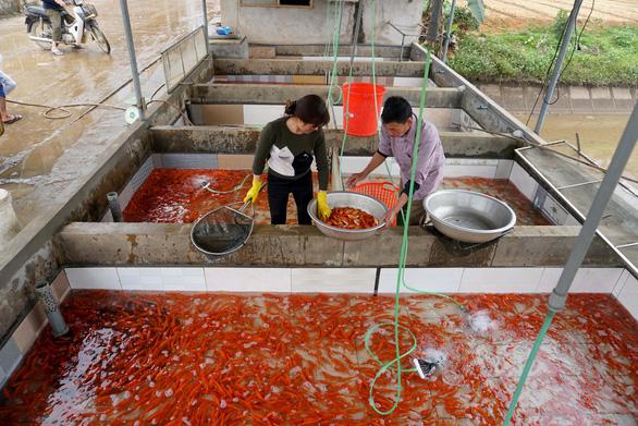 Lãi trăm triệu nhờ nuôi cá chép đỏ phục vụ ông Công, ông Táo - Ảnh 1.