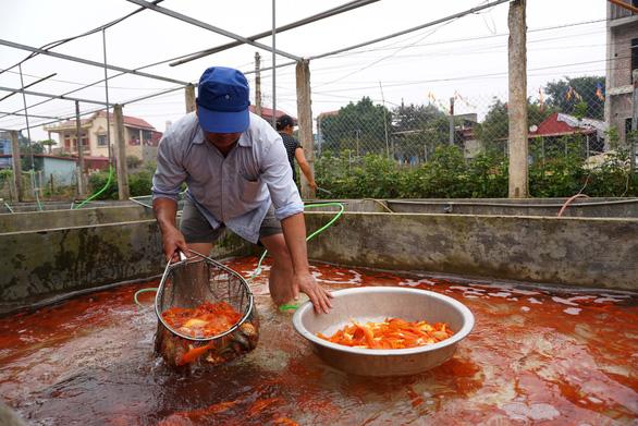 Lãi trăm triệu nhờ nuôi cá chép đỏ phục vụ ông Công, ông Táo - Ảnh 9.