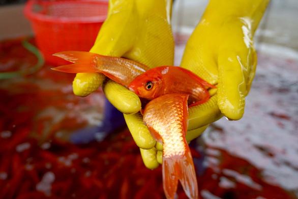 Lãi trăm triệu nhờ nuôi cá chép đỏ phục vụ ông Công, ông Táo - Ảnh 7.