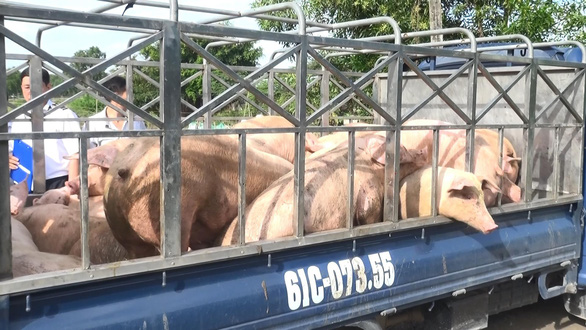 Tiêu hủy 1,5 tấn thịt heo nhiễm chất cấm tại Bình Dương - Ảnh 2.