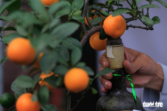 Lạ mắt với quất bonsai trong chai thủy tinh - Ảnh 3.