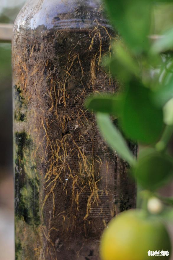 Lạ mắt với quất bonsai trong chai thủy tinh - Ảnh 6.
