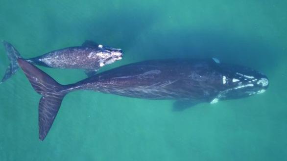Làm cách nào cân một con cá voi 190 tấn đang bơi trên biển? - Ảnh 1.