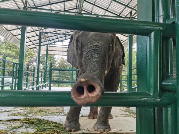 Góc tối đáng sợ của các trại voi mọc như nấm ở Thái Lan - Ảnh 2.