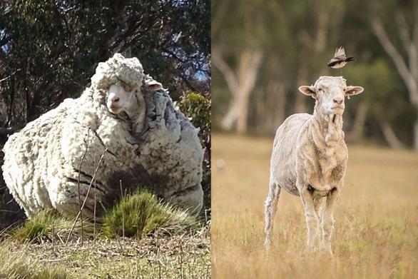 Chú cừu có bộ lông khủng nhất thế giới qua đời, bao trái tim tan vỡ - Ảnh 1.