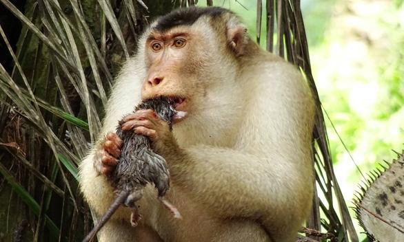 Khỉ săn chuột để ăn: nhà nông mừng, nhà khoa học ngạc nhiên - Ảnh 1.