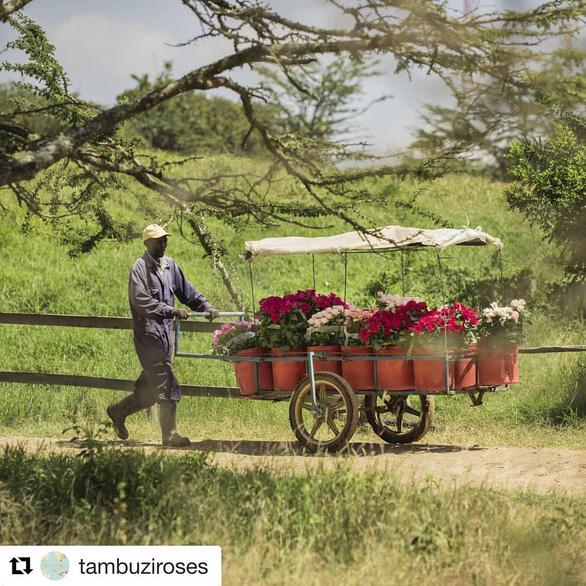 Châu Phi thách thức vị trí số 1 của Hà Lan trong ngành hoa tươi - Ảnh 3.
