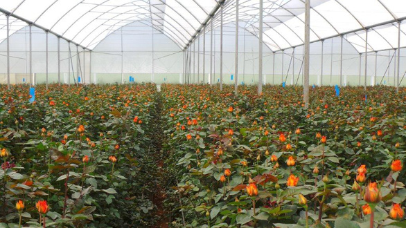 Châu Phi thách thức vị trí số 1 của Hà Lan trong ngành hoa tươi - Ảnh 1.