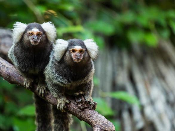 Khỉ cũng có giọng địa phương và pha tiếng như người - Ảnh 1.
