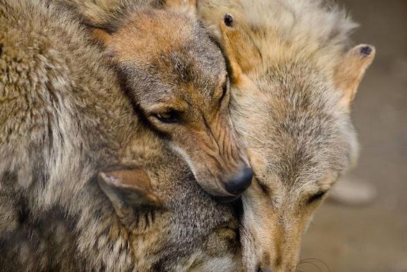 Động vật hôn nhau bày tỏ yêu thương ngọt ngào hơn cả người - Ảnh 12.