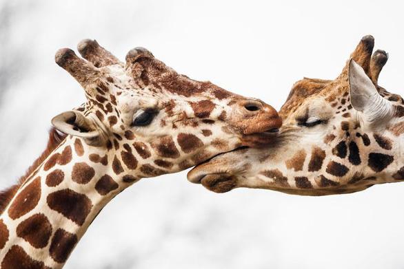 Động vật hôn nhau bày tỏ yêu thương ngọt ngào hơn cả người - Ảnh 15.