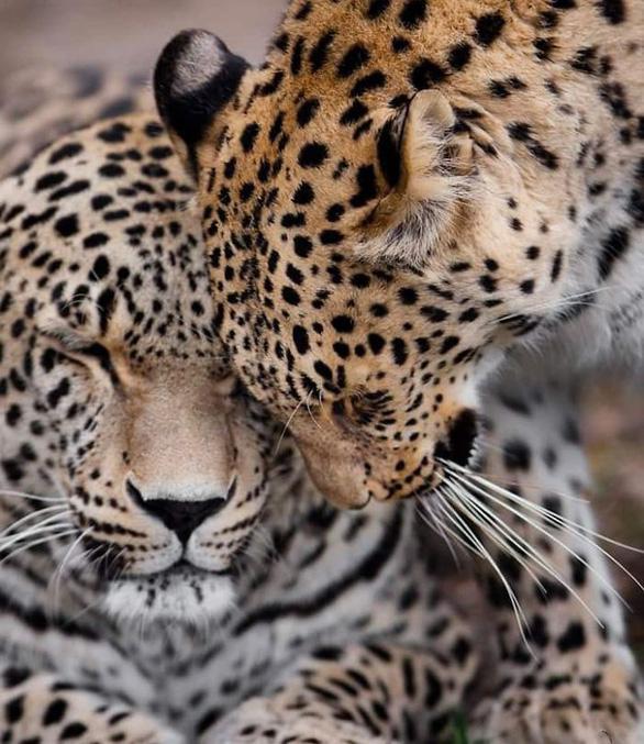 Động vật hôn nhau bày tỏ yêu thương ngọt ngào hơn cả người - Ảnh 16.