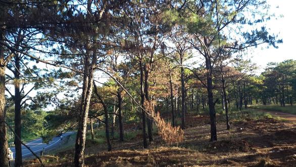 Bắt nhóm hạ độc 1.159 cây thông trên 30 tuổi chiếm đất mặt tiền - Ảnh 1.