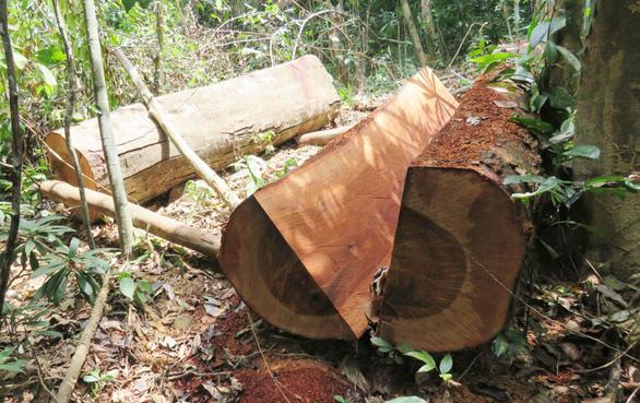 Quảng Bình khởi tố một trạm trưởng vì để lâm tặc phá rừng - Ảnh 1.