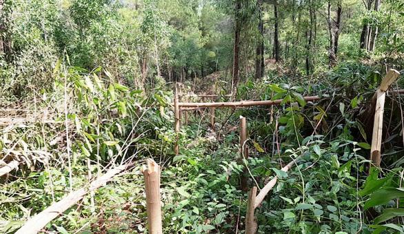 Hơn 4.000 cây keo rừng trồng của dân bị kẻ xấu chặt đứt ngang - Ảnh 1.