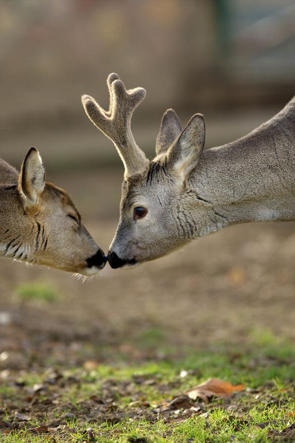 Động vật hôn nhau bày tỏ yêu thương ngọt ngào hơn cả người - Ảnh 5.