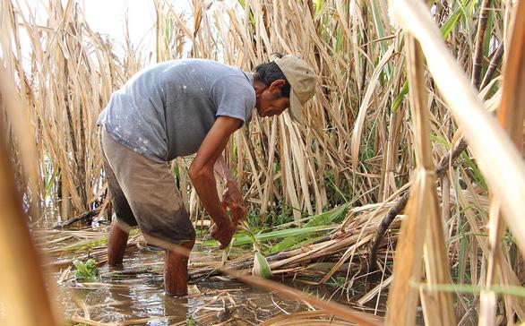 Nông dân ĐBSCL sống dở chết dở với cây mía vì đường lậu - Ảnh 1.
