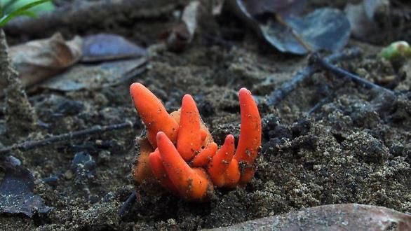 Lần đầu tiên phát hiện San hô lửa Nhật Bản tại Úc - Ảnh 1.