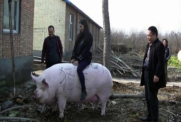 Thiếu thịt, nông dân Trung Quốc vỗ béo heo to như con bò - Ảnh 1.
