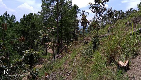 2 hecta rừng thông Lâm Đồng bị phá, kiểm lâm và thủ phạm đều... chưa rõ - Ảnh 2.