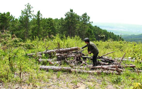 2 hecta rừng thông Lâm Đồng bị phá, kiểm lâm và thủ phạm đều... chưa rõ - Ảnh 4.