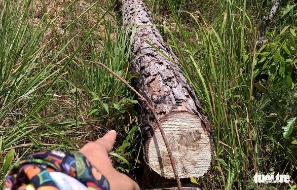 2 hecta rừng thông Lâm Đồng bị phá, kiểm lâm và thủ phạm đều... chưa rõ - Ảnh 1.