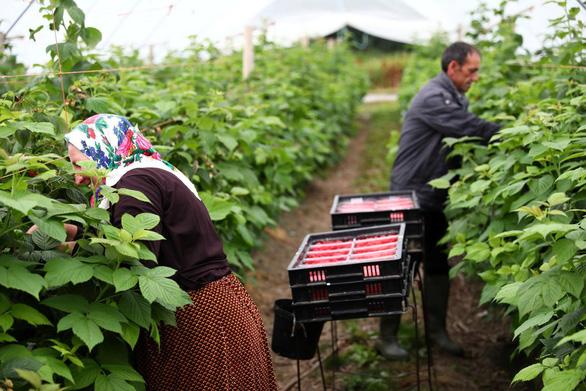Cơ hội sang Anh làm nông dân có thể tăng gấp 4 lần hiện nay - Ảnh 1.